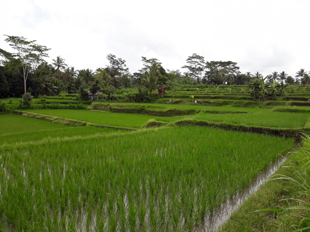 Rice Terraces Ubud Bali Bike Tour